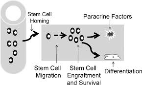 genetic enhancement of stem cell engraftment survival and