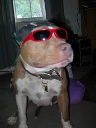american pitbull terrier webbed feet pit bull breed information and photos thriftyfun