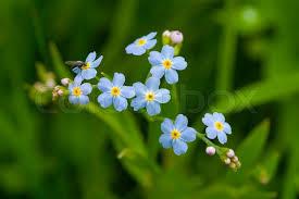fresh flowers forget me not bloom garden nature flower blue blossom plant