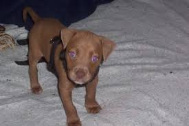 american pitbull terrier info american pit bull terrier breed info u0026 pictures petmd