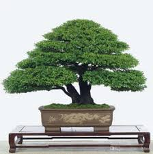 discount japanese pine trees 2017 japanese pine trees on sale at