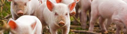pig idioms expressions oxfordwords blog