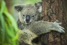 koalas cool by clinging to trees d brief