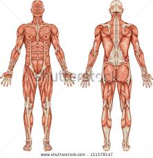 muscle anatomy stock images royalty free images u0026 vectors