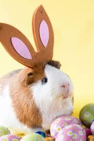 2441 best guinea pigs images on pinterest guinea pigs animals