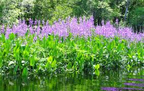 native plants discover the beauty and role of native aquatic plants u2013 in your
