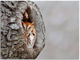 owls u0026 others of essex ma four screech owl drive january 5 2010