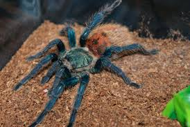 biomimicry and the mesmerizing colors of blue tarantulas