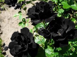 black roses the black of halfeti daily sabah
