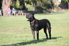 boxer dog with full tail 36 wonderful black boxer dog images and photos