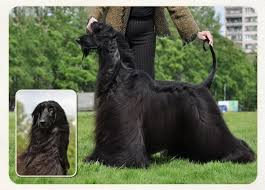 afghan hound mandarin charisma of afghan hounds russian kennel of showdogs