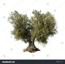 olive tree white isolated stock photo 116126557 shutterstock