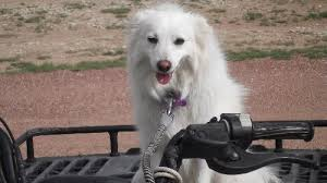 american eskimo dog for sale in colorado meet max in co a petfinder adoptable american eskimo dog dog in