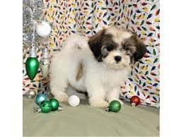 puppies for sale dogs and puppies for sale petland knoxville pet store tn