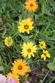 Marigolds Shade by Cape Marigold Care Learn About Dimorphotheca Cape Marigolds In