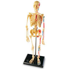 anatomy toys for kids baby kids clothes and stuffs