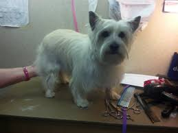 cairn terrier haircuts cairn terrier groom page naju the fun place for your pets