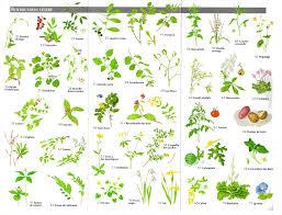 planche des plantes toxiques plantes médicinales pinterest