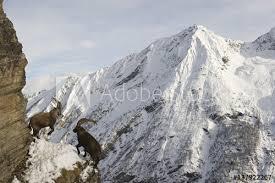 narrow picture ledge alpine ibex capra ibex ibex fighting on narrow ledge on rock face