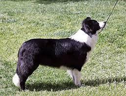 belgian shepherd x border collie majestic news