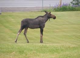 animated moose lawn ornament jarod711