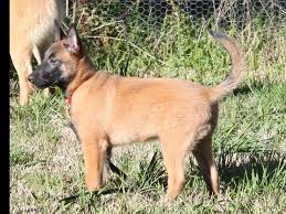 belgian sheepdog breeders in california cabel malinois belgian malinois puppies for sale