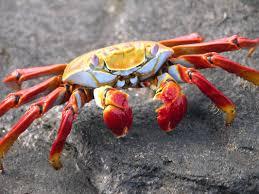 halloween crab 41 crab images