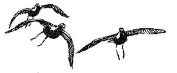 file birds art drawing golden plover jpg wikimedia commons