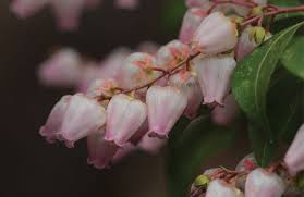 Pink Spring Flowering Shrubs - 5 shrubs that live for shade american nurseryman
