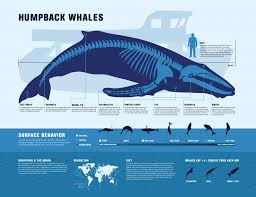 humpback whale facts ocean infographics pinterest whale
