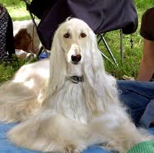 afghan hound utah breeds puppies for sale dogs for sale puppypost