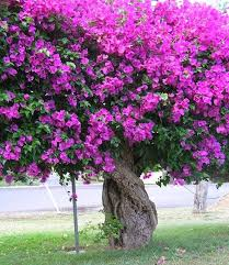 how to grow bougainvillea gardening ideas plant info