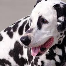 870 dalmatians images dalmatian puppies