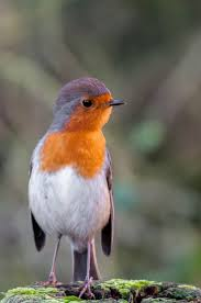 721 best robin red brest images on pinterest robins red and