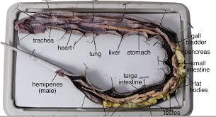 bentonzoology snake dissection