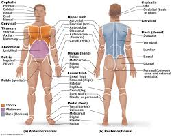 Anatomy And Physiology Definitions Human Anatomy Terms And Definitions Anatomical Terminology