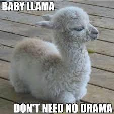 Alpaca Memes - 21 funny llama memes if you don t need no drama