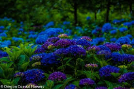 blue and purple flowers wholesale fresh cut hydrangeas oregon coastal flowers
