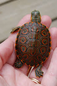 351 best turtles images on pinterest tortoises sea turtles and