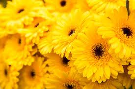 yellow flowers yellow flowers hortibiz