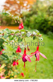 fuchsia mrs popple flowers stock photos u0026 fuchsia mrs popple