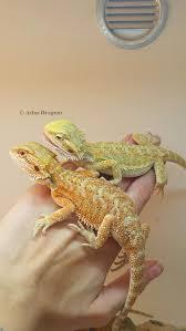 Bearded Dragon Behavior Before Shedding by 335 Best Bearded Dragon Images On Pinterest Amphibians