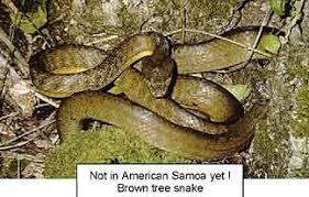 Blind Snake Hawaii Samoa Guide 27 Snakes In Samoa