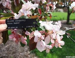 Profusion Flowering Crabapple - selkirk crabapple malus u0027sekirk u0027