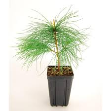 evergreen nursery white pine potted evergreen tree pinwhiqts the
