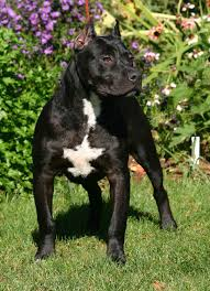 l american pitbull terrier a p b t la storia del pit bull terrier e dell u0027american pit bull terrier