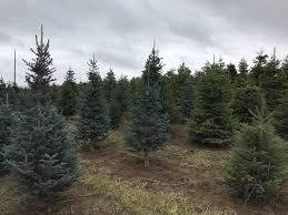 100 silver tip christmas tree farm apple hill baby u0027s