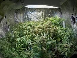 your guide to marijuana grow tents