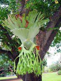 Unusual Tropical Plants - 50 best helechos images on pinterest plants fern frond and fungi