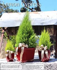 christmas topiaries plants u0026 ideas for home decoration